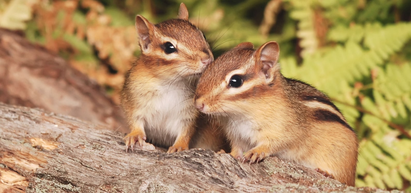 mainchipmunks-min-min.jpg